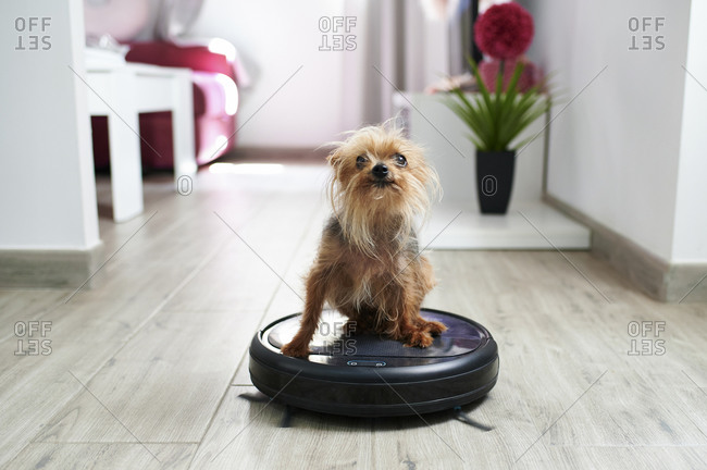 Close-up of Yorkshire terrier on robotic vacuum cleaner at home