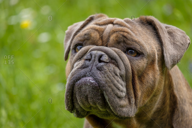 Portrait of English Bulldog looking away