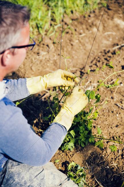 Mature man planting hop crops at Hallertau- Bavaria- Germany