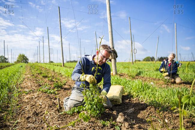 Male and female farmers planting hop crops at Hallertau- Bavaria- Germany