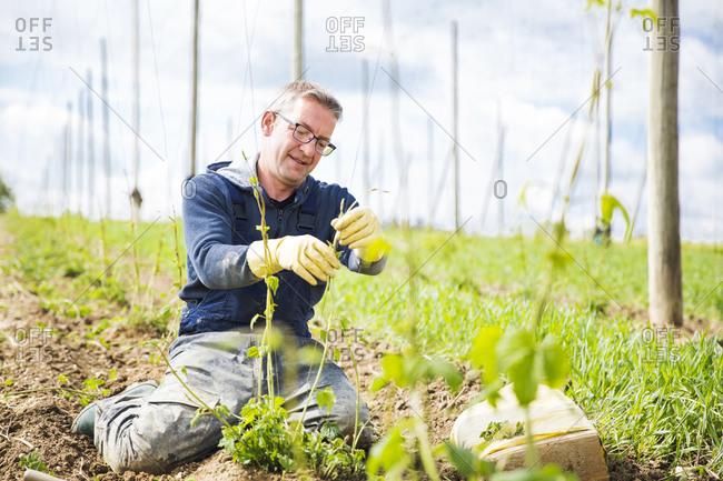 Farmer planting hop crops at Hallertau- Bavaria- Germany