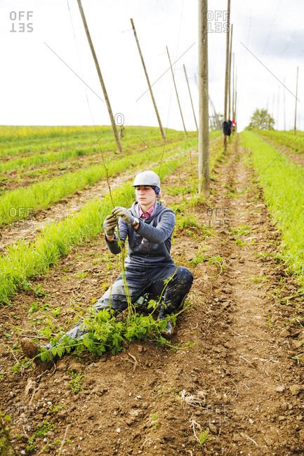 Female farmer planting hop crops at Hallertau- Bavaria- Germany