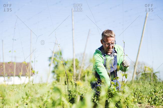 Male farmer planting hop crops at Hallertau- Bavaria- Germany