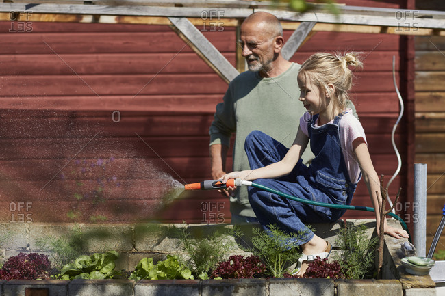 Grandfather and granddaughter watering lettuce in allotment garden