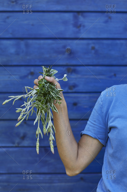 Close-up of woman holding bunch of sage at blue wall