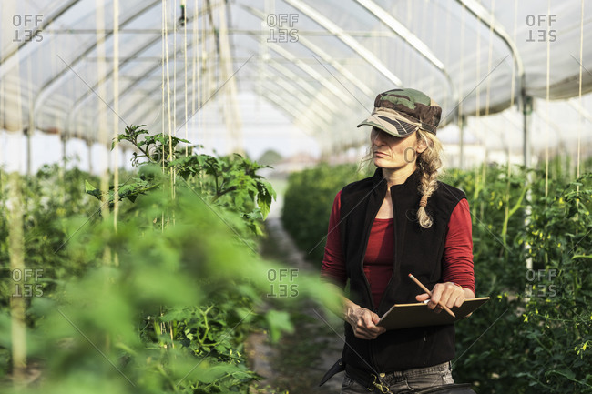Female farm worker woman checking the growth of organic tomatoes in a greenhouse