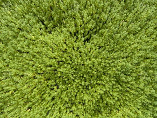 Aerial view of a cannabis field