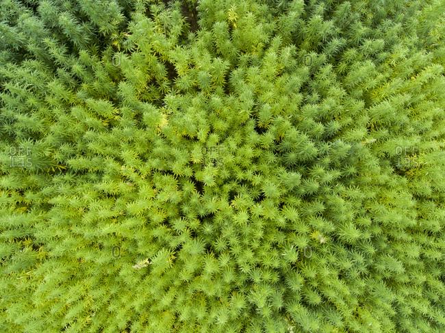 Bird's eye view of a cannabis field