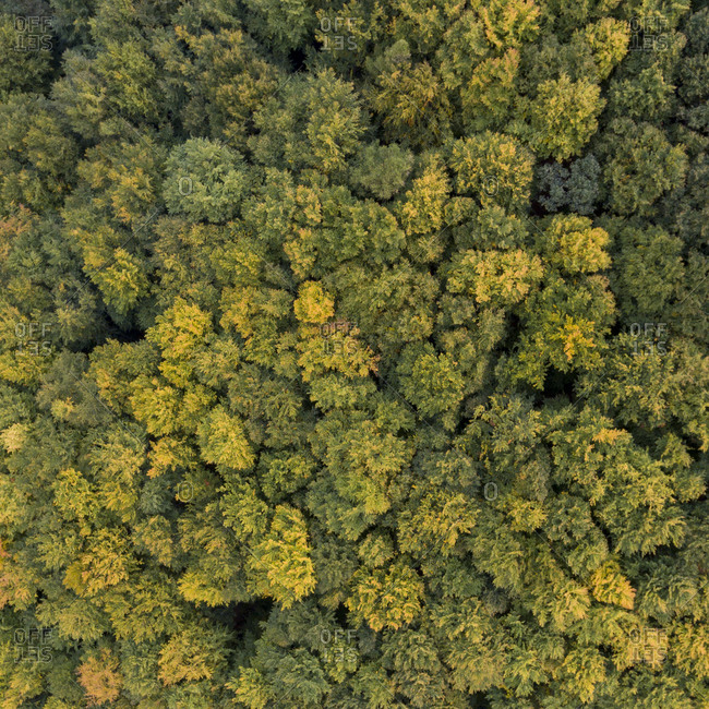 Aerial view of a color changing forest in autumn