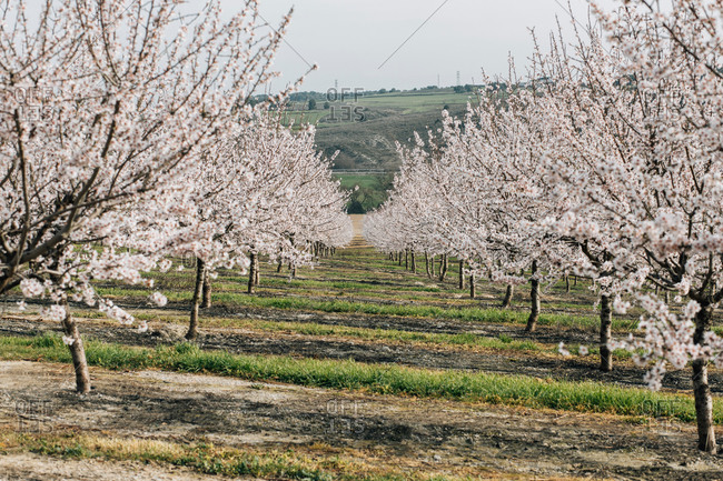 Rows of blooming cherry trees growing on hilly terrain in spring day in Spanish countryside
