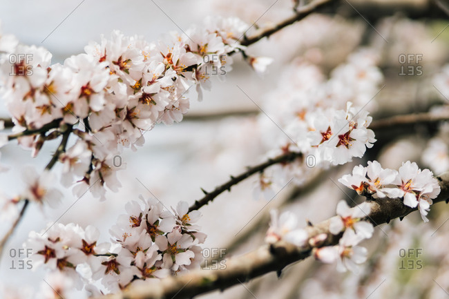 Blooming cherry trees growing on hilly terrain in spring day in Spanish countryside
