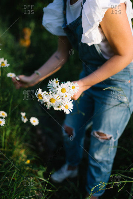 Cropped unrecognizable woman in casual clothes enjoying smell of fresh chamomiles while collecting flowers on green meadow in spring