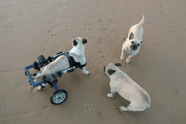 From above of adorable dog in wheelchair and two healthy French Bulldogs relaxing together on beach during daytime