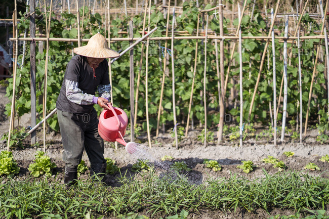 Middle aged Asian man in traditional oriental straw hat using watering pot while pouring green plants growing in garden in Taiwan