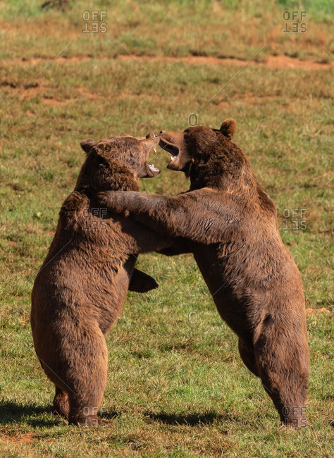 Side view of dangerous brown bears standing on green lawn and fighting with opened mouths during sunny day