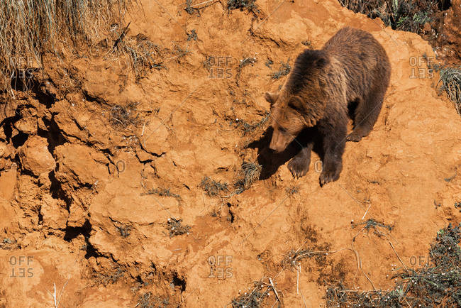 Side view of wild brown bear standing on sandy slope on sunny day in wood