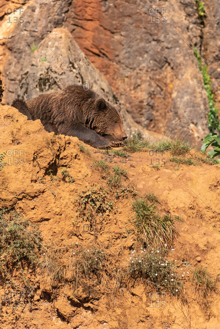 Side view of wild brown bear sitting on sandy slope on sunny day in wood