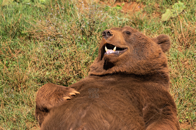 Wild brown bear with fluffy fur relaxing on green field and enjoying sun with closed eyes