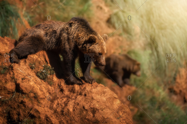 Side view of wild brown bears standing on sandy slope on sunny day in wood