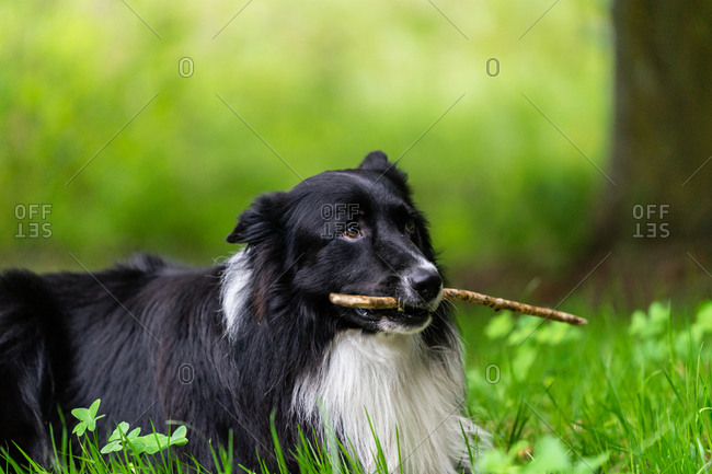 Happy active purebred furry black Border Collie dog with white spot holding wooden stick on green grass in park