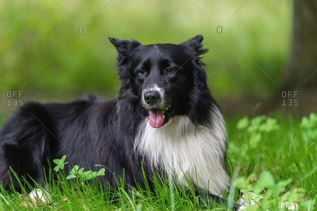 Furry black Border Collie dog with white spot lying on green grass while resting during walk in spring forest
