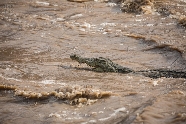 Side view of wild alligator with opened mouth and sharp teeth hiding in dirty water of rapid river Awash Falls Lodge