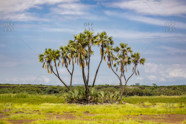 Tall doum palm trees growing in grassland on background of blue sky on sunny day