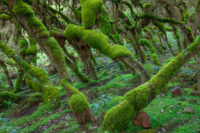 Picturesque landscape of forest with curved tree trunks covered with green moss