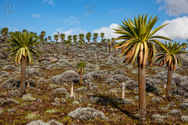 Giant lobelia trees with lush foliage growing on rocky terrain on background of stormy sky in Africa