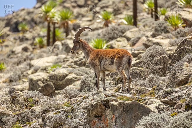 Side view of wild ibex with large horns pasturing in rough rocky terrain in Ethiopia