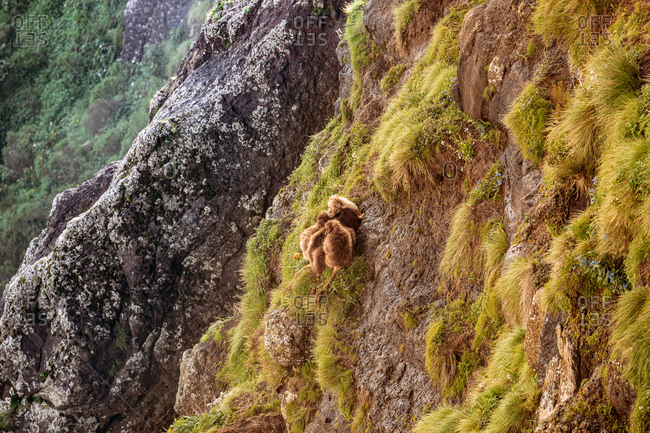 From above of gelada monkeys sitting on rocky slope covered with green grass