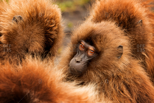 Fluffy muzzles of dense group of gelada baboons crowding in natural habitat in Ethiopia, Africa
