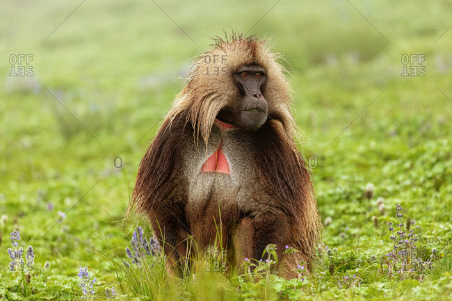 Gelada baboon sitting on lush meadow and eating grass in Ethiopia, Africa