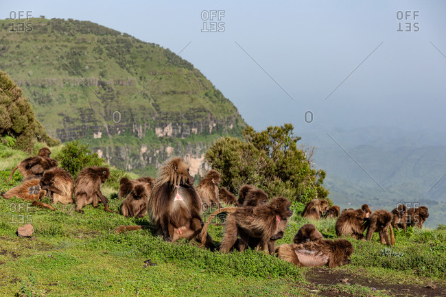 Group of gelada monkeys sitting on meadow slope covered with green grass in Ethiopia, Africa