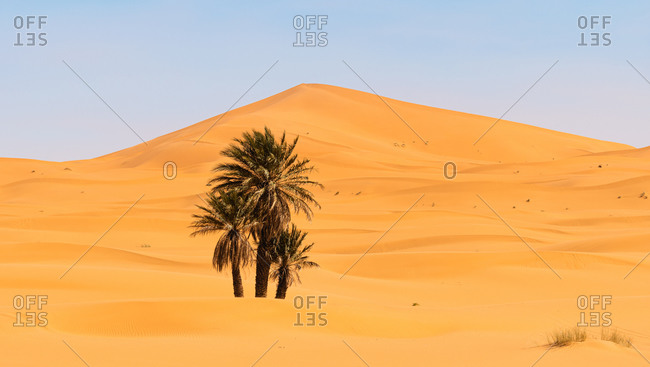 Magnificent scenery of green palms growing in oasis of desert on background of sand dunes in Morocco
