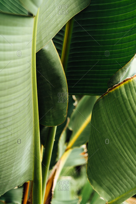 Front view of tropical plant with lush leaves growing