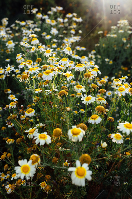 From above of picturesque bright wild chamomiles with gentle white petals and yellow center growing on field in sunlight in summer