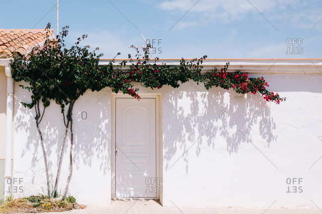 House facade with whitewashed wall and white door near thin tree trunk with creeping branches and blossoming red flowers under blue sky on sunny day