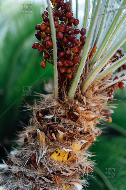 Uneven spike peach palm trunk with tall stems and bunch of small red berries behind fern leaves in afternoon