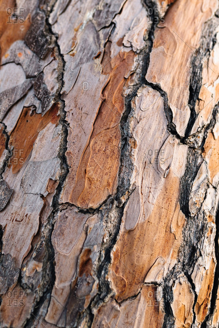 Closeup of old tree trunk dry light brown bark with rough and uneven surface with cracks in afternoon
