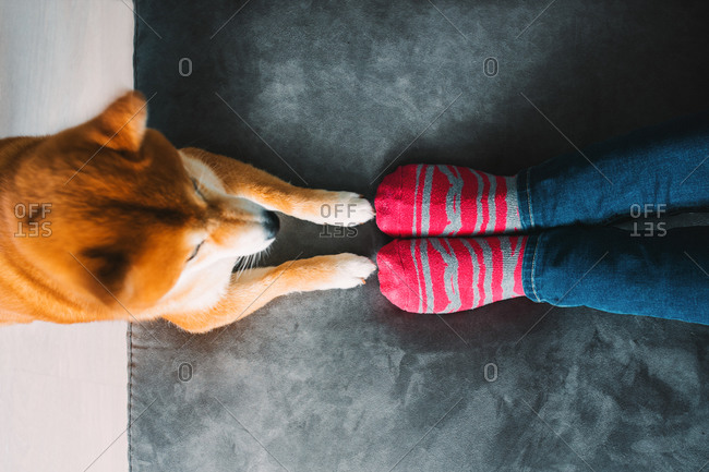 From above of unrecognizable female dog owner in jeans and striped socks sitting on cozy plush sofa and cute Shiba Inu dog standing with front paws on couch