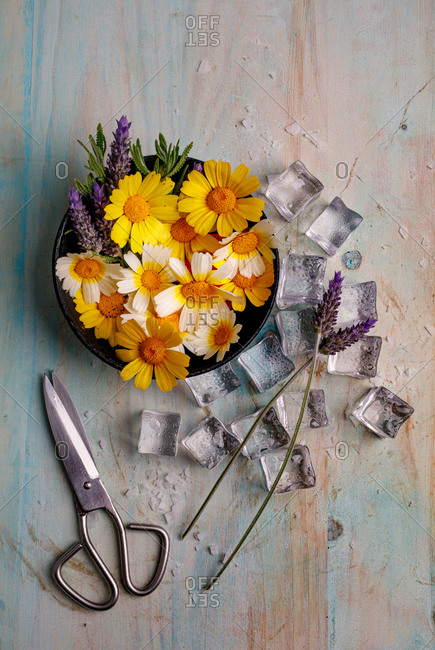 Top view composition of bunch of colorful daisies and lavender flowers in pot arranged near ice cubes and scissors on shabby surface