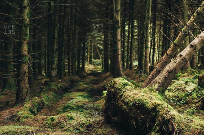 Trunks of dead trees fallen in middle of evergreen dark majestic forest in Ireland