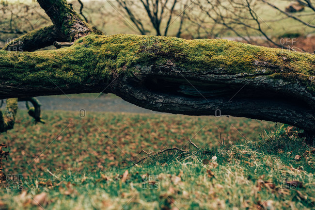 Aged inclined trunk of tree covered with green moss on remote rural field in Ireland
