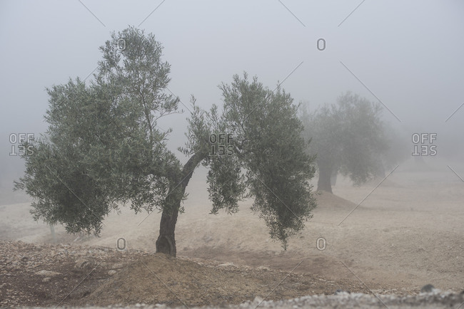 Olives trees in the fog in Andalusia, Spain