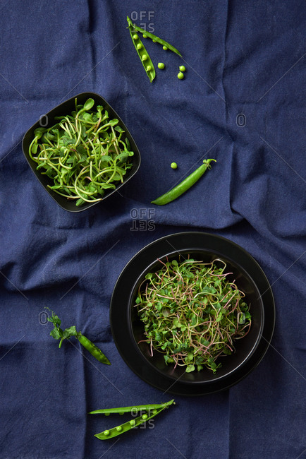 Freshly picked natural organic microgreen sprouts in a black ceramic plates on a blue napkin textile background, copy space. Top view. Vegan super food.