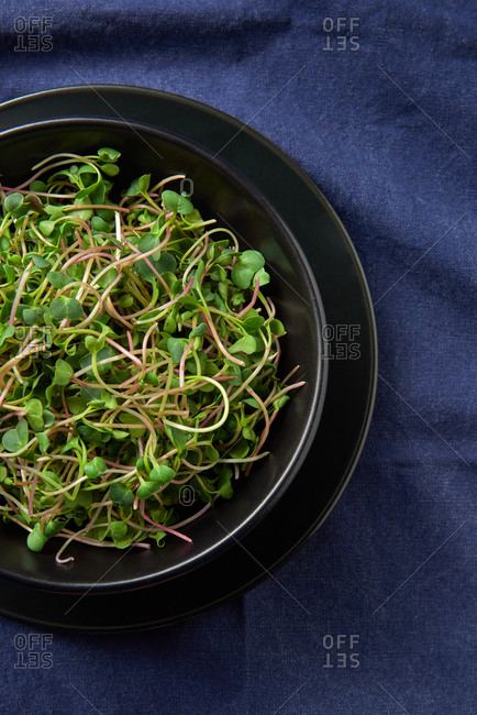 Black ceramic plates with freshly picked growing natural organic microgreen sprouts on a blue textile background, copy space. Close-up view. Vegan super food.