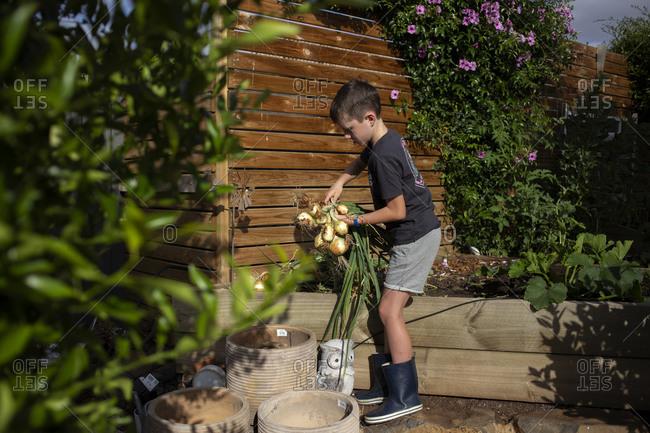 Little boy picking onions from a backyard garden