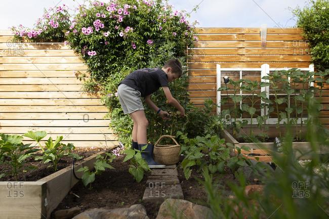 Little boy harvesting beans from a backyard garden