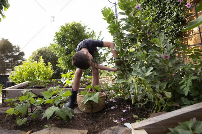 Little boy picking beans from a backyard garden